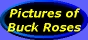 [Pictures of Buck Roses]